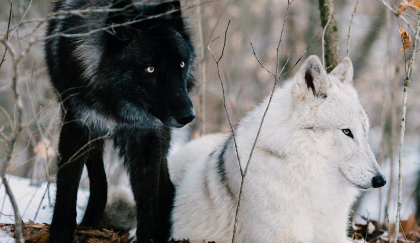 Two Wolves: A Cherokee Proverb - Veterans Outreach Ministries